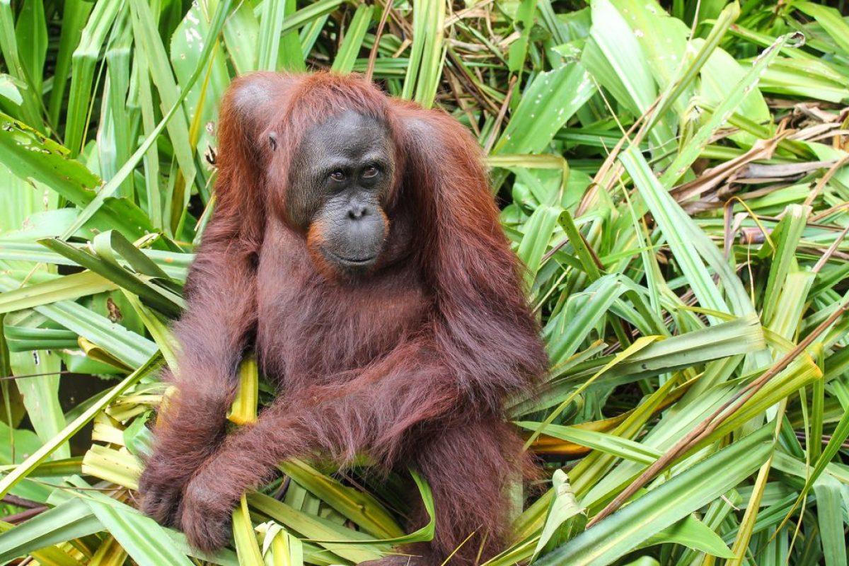 orangutanes-en-borneo-25