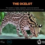 The Ocelot