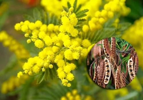 Cha de acacia amarela grande poder medicinal