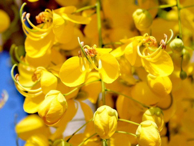 acacia amarela