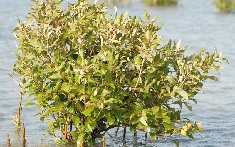 أشجار القرم كنوز صديقة للبيئة والإنسان الإمارات اليوم