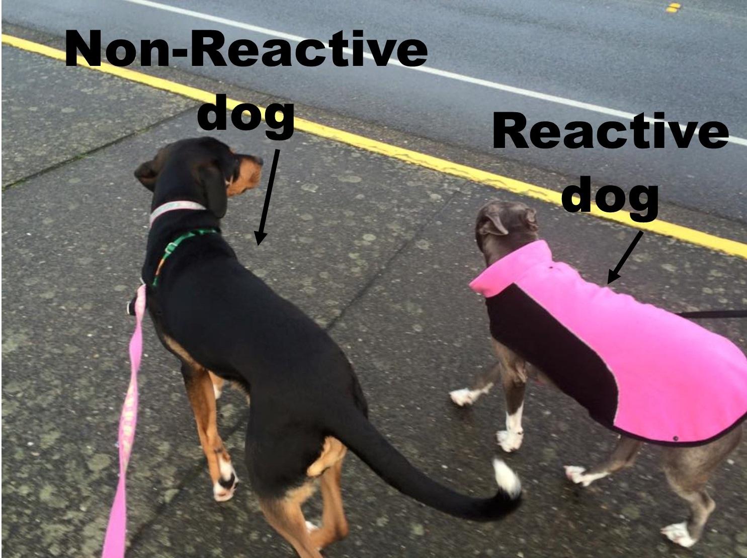 reactive dog