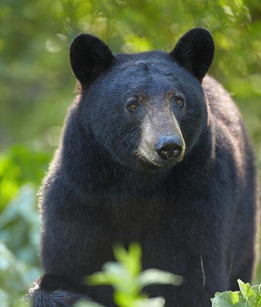 Dicas - o que fazer se encontrar um urso preto!