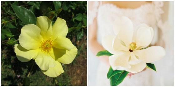 limoncello rose magnolia