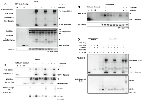 Supraphysiological Levels Of Gdf11 Induce Striated Muscle Atrophy