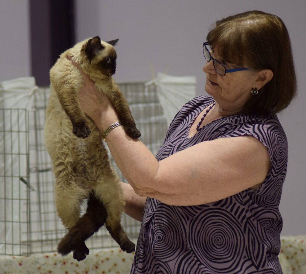 Emenheim Hex Selkirk Rex Shorthair sealpoint SNRF cat show