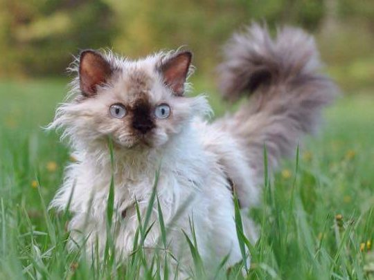 Selkirk Rex Longhair Tortie point female