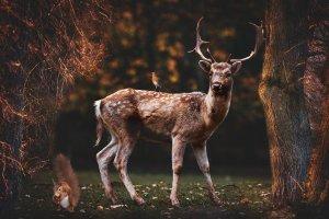 forest, animals, fallow deer