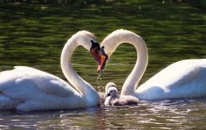 love, family, swan family