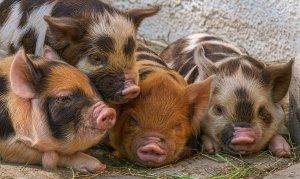 piglet, pigs, breed pig kunekune