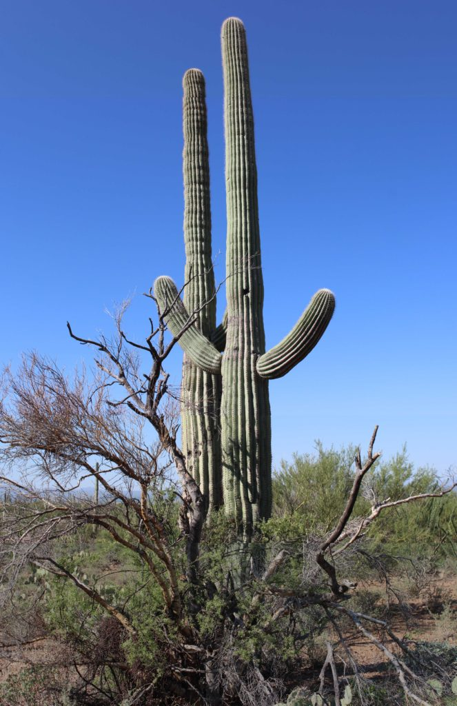 Saguaro with nurse tree in Saguaro National Park, Tuscon, AZ