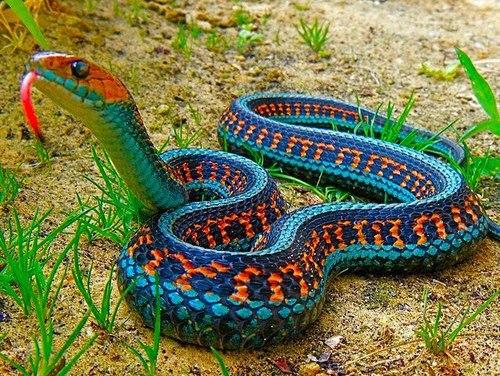 blue-malaysian-coral-snake