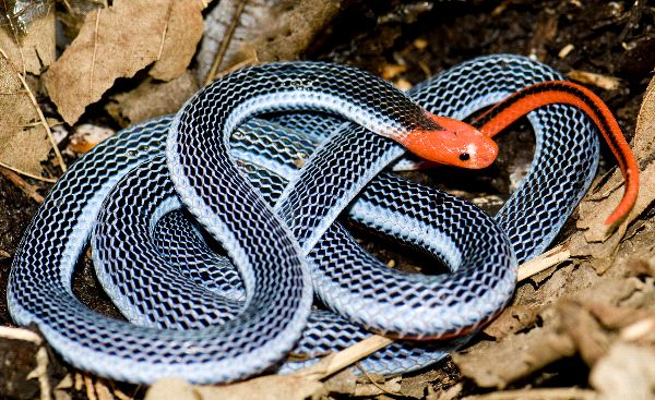 exotic_malaysian_blue_coral_snake_600