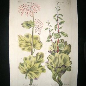 Nical Rhubarb Vegetable Fruit Hand Col. 6537 P