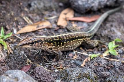 Lizard-La-Fortuna-Costa-Rica