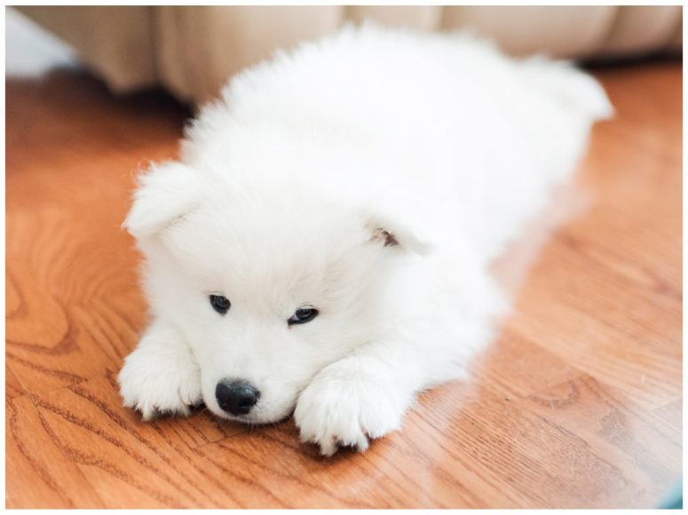 Meet Koda, Our Sweet Samoyed! | Emily Moore | Private Photo Editing