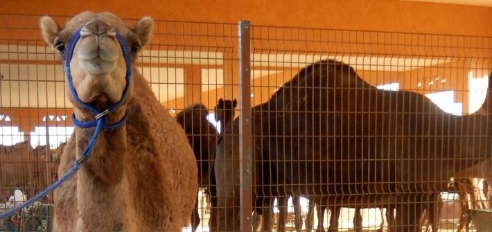 Al Ain Camel