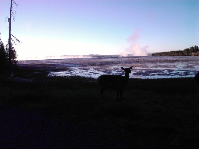 An elk in front of Grand Prismatic Spring, Old Faithful Area, Yellowstone.