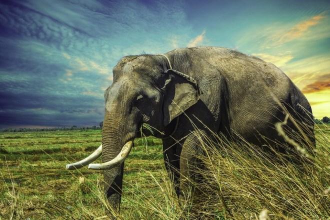 elephant-2729415_960_720