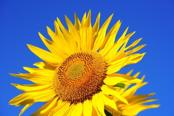sun-flower-2511961_960_720