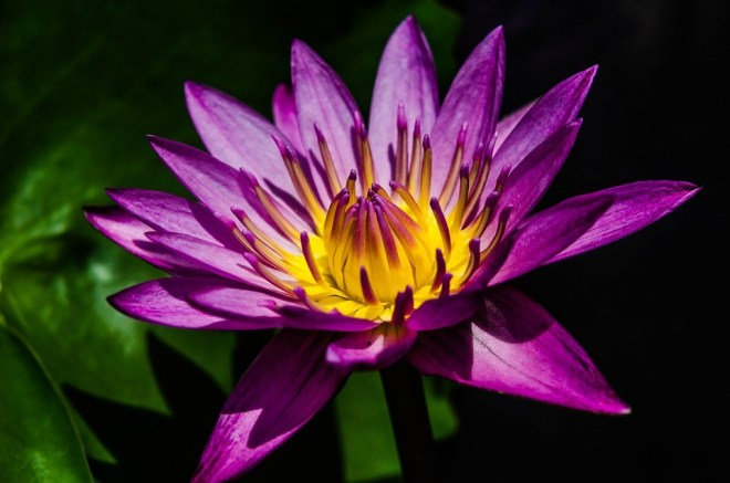 water-lily-2418339_960_720