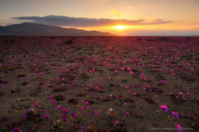 Atacama Desert in bloom at sunset