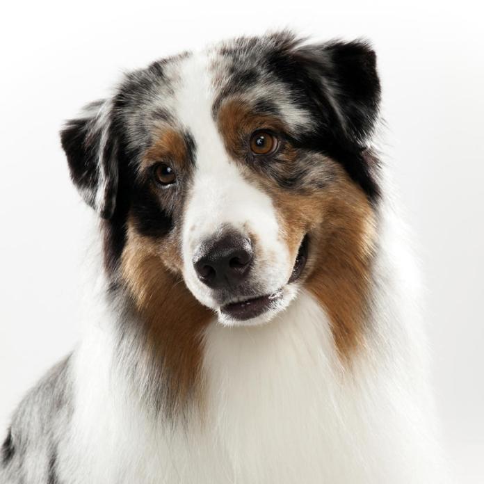 dog-breed-selector-australian-shepherd