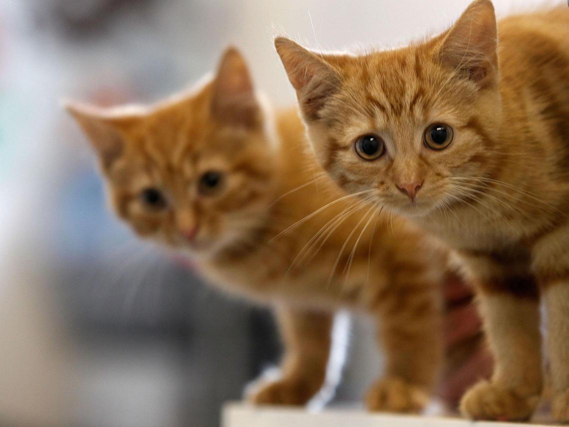 gatos-dourados