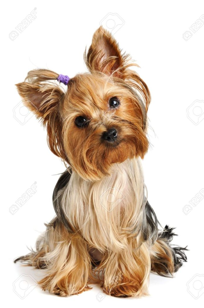 7826908-Puppy-yorkshire-terrier-on-the-white-background-Stock-Photo