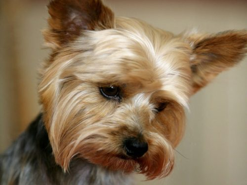 yorkshire-terrier-6-500x375