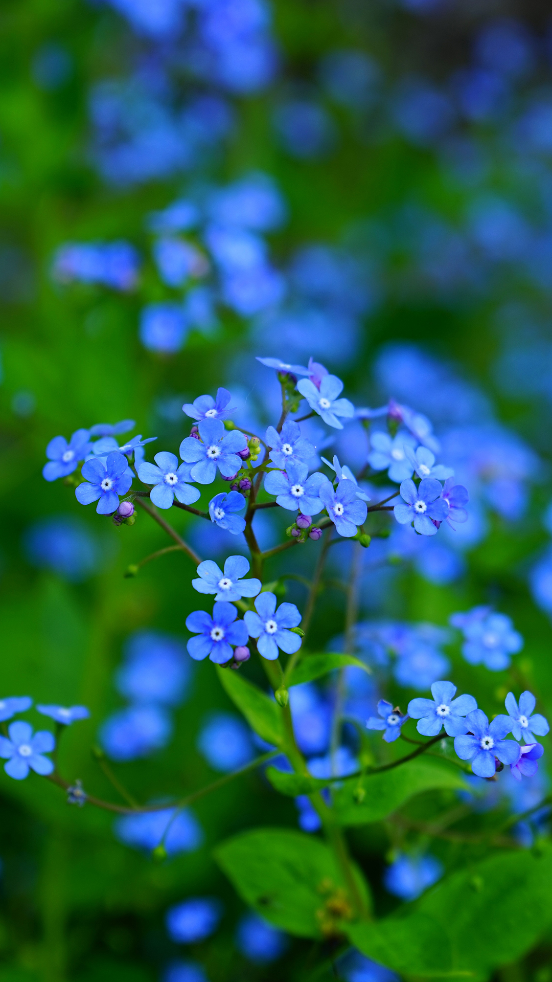 forget-me-not-1143