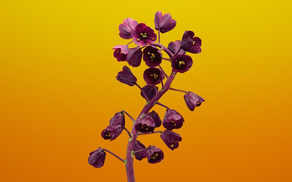 fritillaria_flower_ios_11_stock-wide