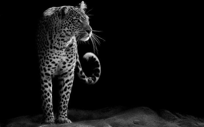leopard_hd_4k-wide
