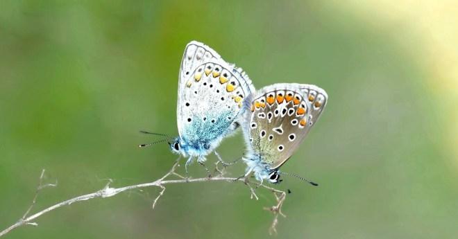lycaenidae-restharrow-butterflies-polyommatus-icarus-158732
