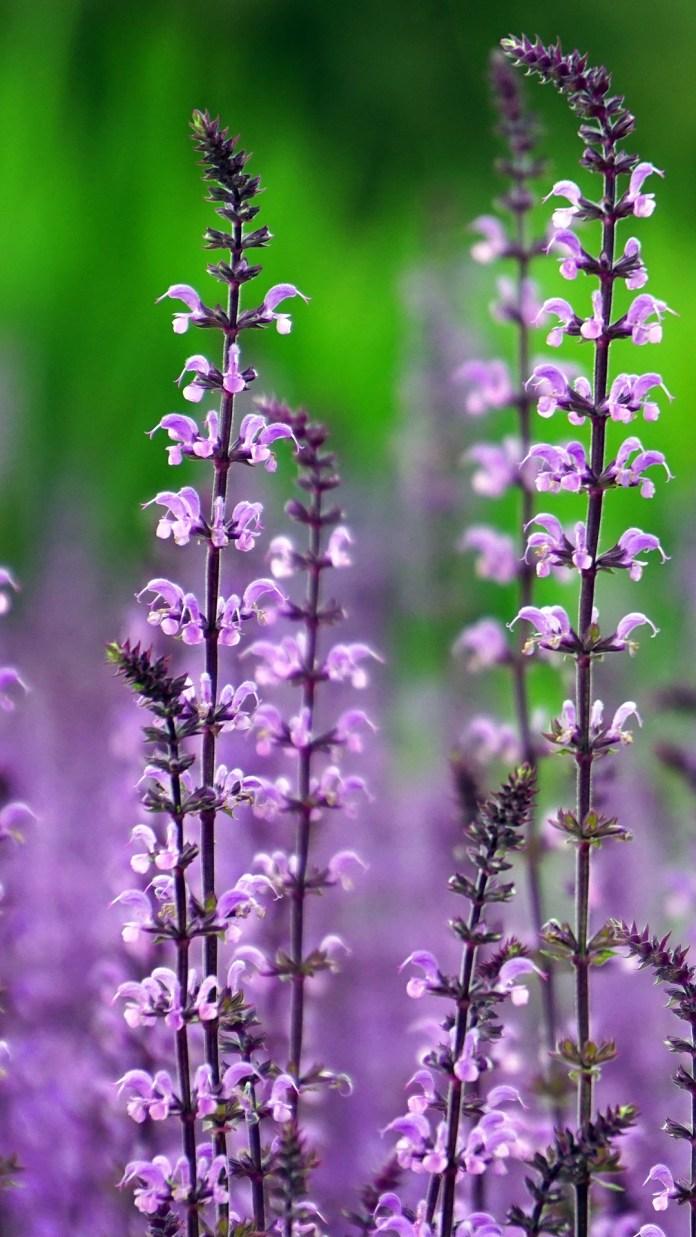 purple-lavender-6654