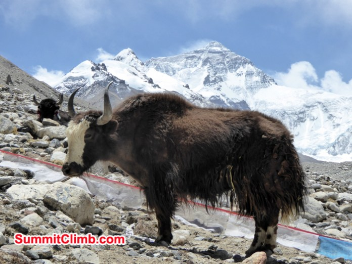 After-load-yak-taking-rest-background-Everest