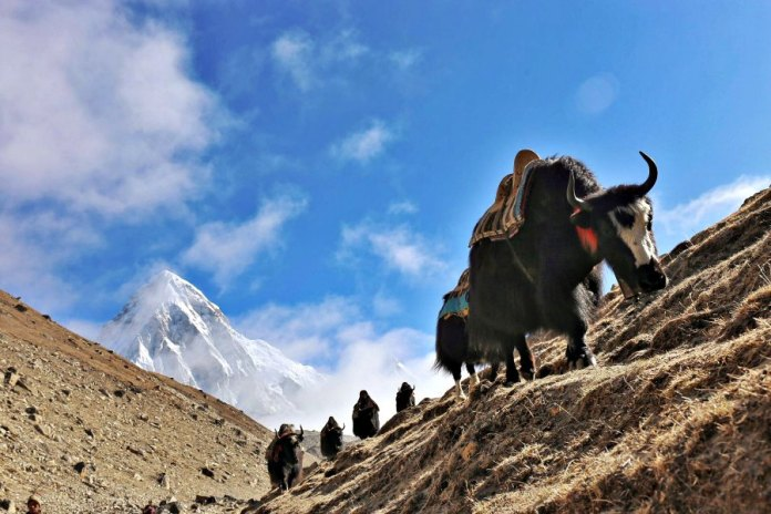 Everest-Base-Camp-Yak-Train