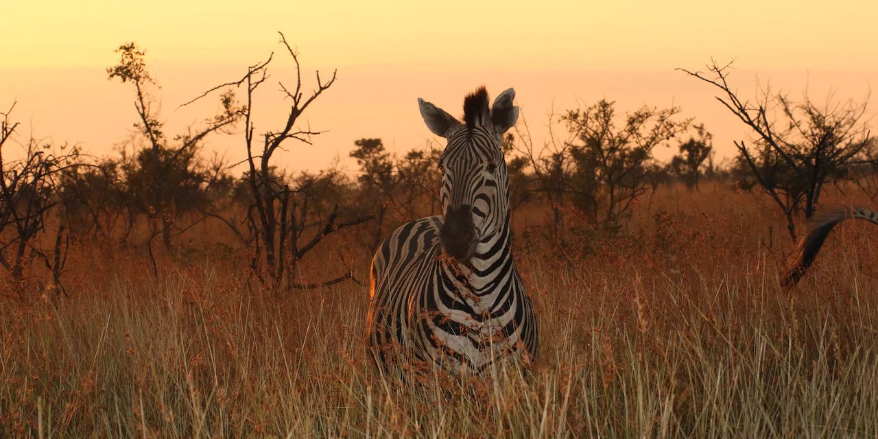 zebra-tall-grass-south-africa-2x1