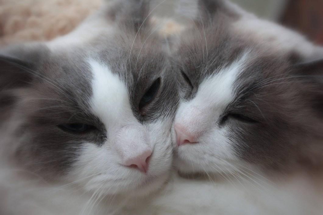 Amore da gatti: quando i gatti sono in calore non sono davvero innamorati