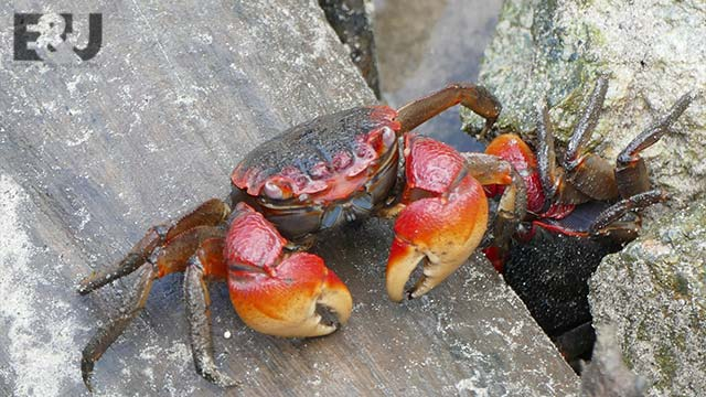 crab-mentality