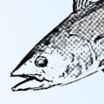 まな板の上の鯉?