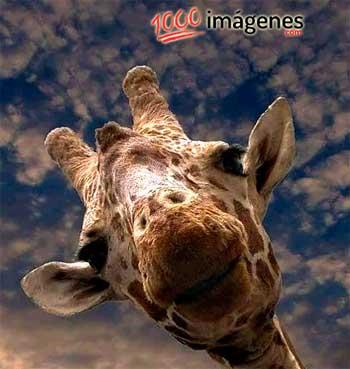 Imágenes graciosas Jirafa