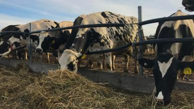 Photo of 5 Tips to Get Good Quality Silage for Cattle