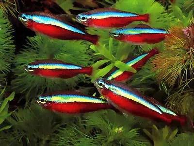 El pez neón, un destello de color para nuestro acuario