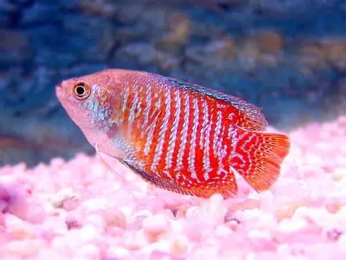 Un pez pacífico y sociable en nuestro acuario: el Colisa Lalia