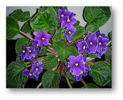 Unas flores humildes y bellas: las violetas
