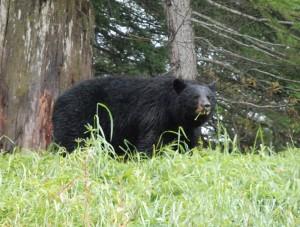 Un ours au Canada