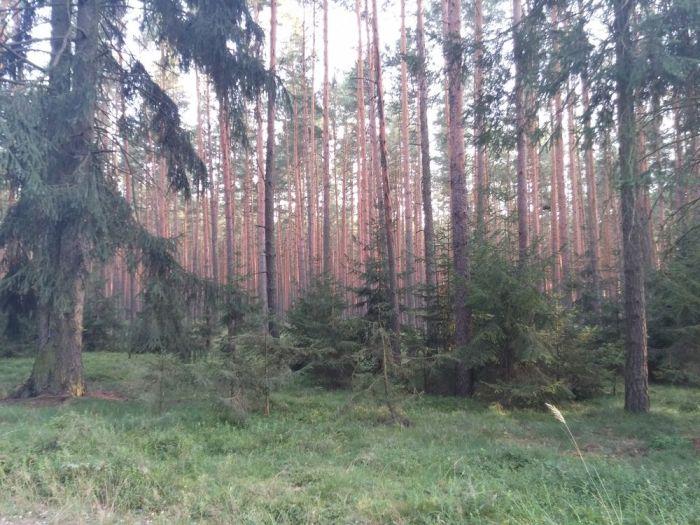 Forêt en Pologne