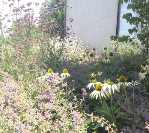 Vaste planten in bloei. Witte zonnehoed met paarse verbena.