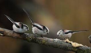 vogels in de tuin: staartmezen